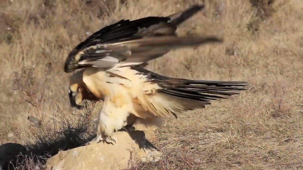 El QUEBRANTAHUESOS («Gypaetus barbatus», 'buitre barbado') se llama así por su hábito de arrojar huesos desde gran altura para que se rompan y le resulte más fácil comérselos.