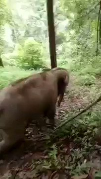 RT @Protect_Wldlife: A baby #Elephant takes the quick route downhill in Assam. https://t.co/BAcClZrctE