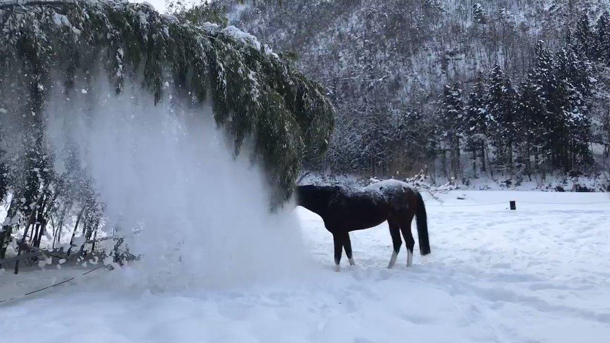 笹の雪を落として楽しんでました