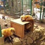 狐がこゃんこゃんしてるとこ pic.twitter.com/60fdBiu38i