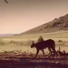 The stunning athleticism of a #Caracal o...