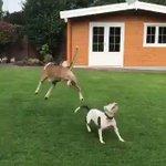 犬が風船で遊ぶことを覚えた結果?めっちゃ楽しそう!