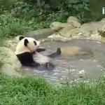 まったりしすぎでしょw温泉に浸かるパンダは人間が入ってるみたい
