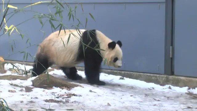 【朗報】 パンダ史上最も美しいひざカックン