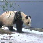 パンダ史上最も美しいという、ひざカックンが話題!