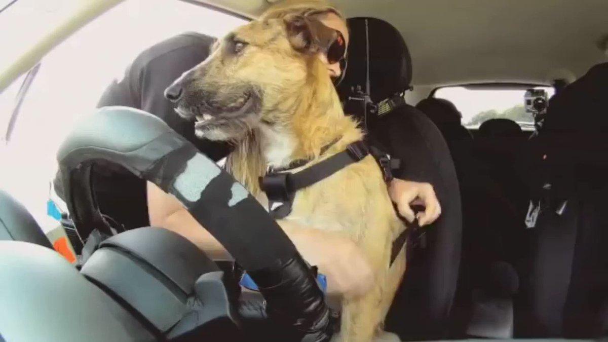 Гифка с собакой в машине