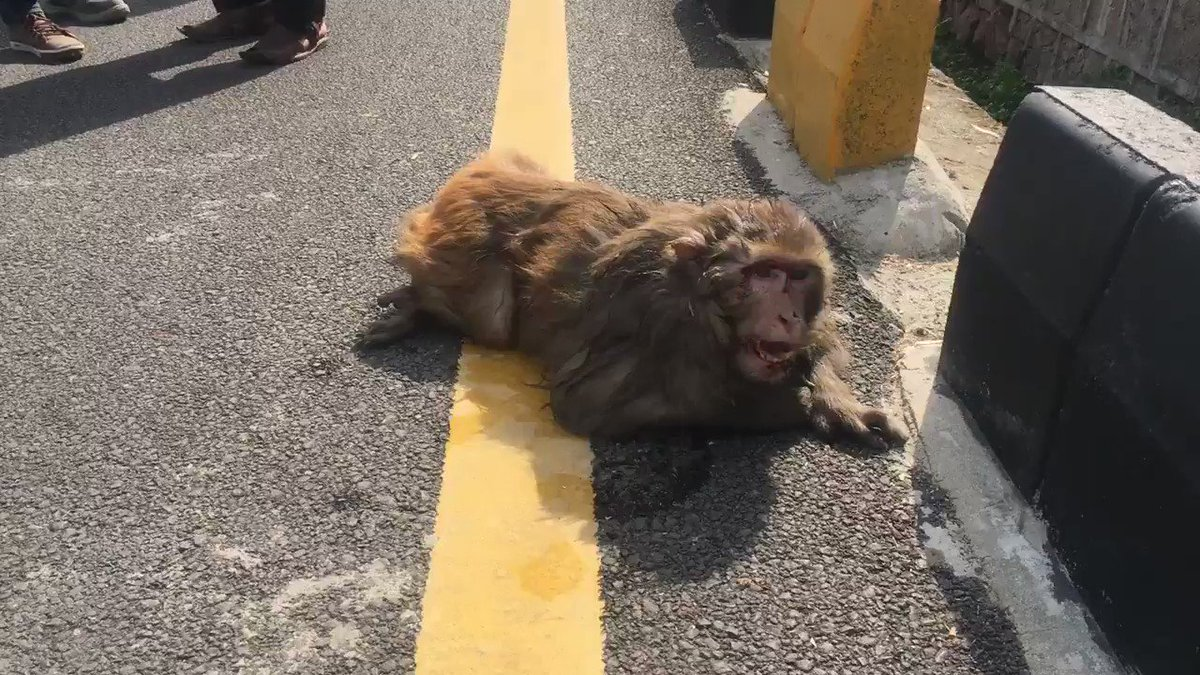 A vehicle fled from scene after hitting this poor #monkey on Constitution Avenue.Dr.M.Aslam reached the spot shortly after a single call But monkey could not survive and died.We should be careful about #wildlife while driving and help in case animal is injured.