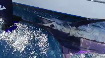 St Lucia - Exodus released a Blue Marlin.