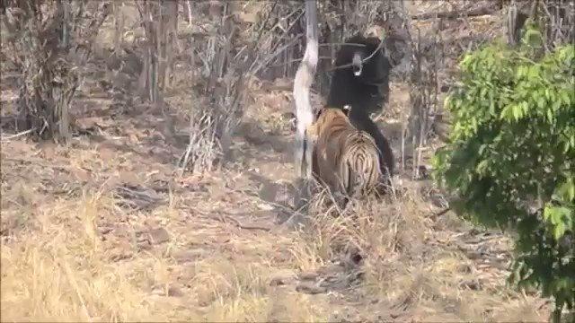 Tiger vs Bear Maharashtra tadoba National Park https://t.co/m7Jhv0eHnc