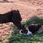 ラクダと猫のコラボレーション?!戯れている様子になんか胸キュンw