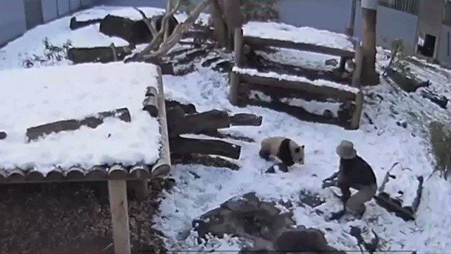 お気に入りのパンダライブカメラ。雪遊びする飼育員さんとシャンシャン。 #シャンシ...