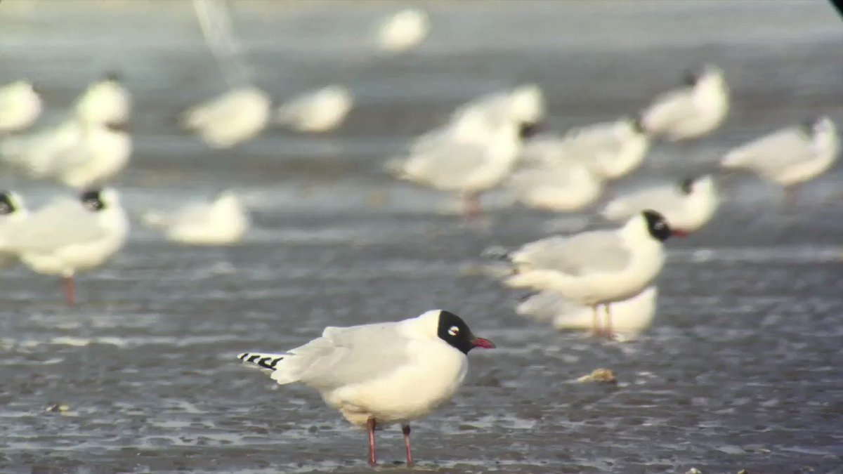 The whole of the world population of RELICT GULL relies on the intertidal mudflats of the Bohai Bay and Yellow Sea in winter, hence their classification as Vulnerable to extinction. Right now theyre looking their best!