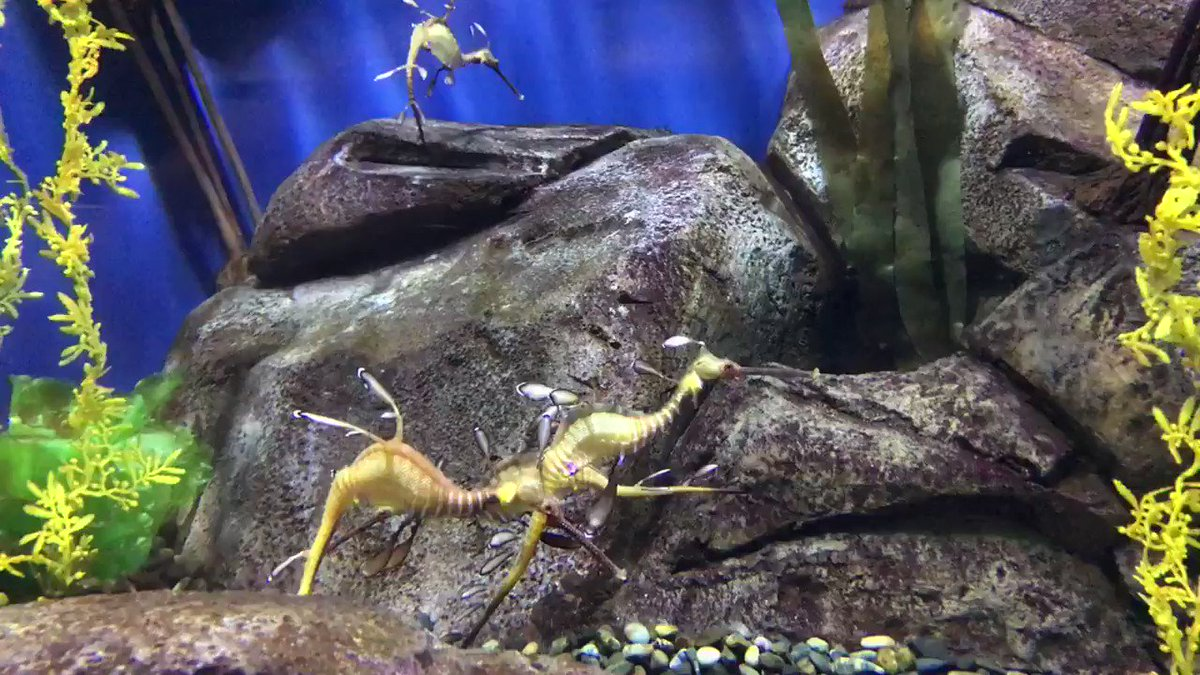 Weedy sea dragons are the leaf insects/walking sticks of the ocean world! Their camouflage is incredible! #aquariumday