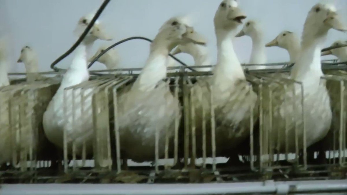 Unforgivable cruelty! How sentient creatures are left to suffer in the foie-gras industry. #Govegan #animalrights