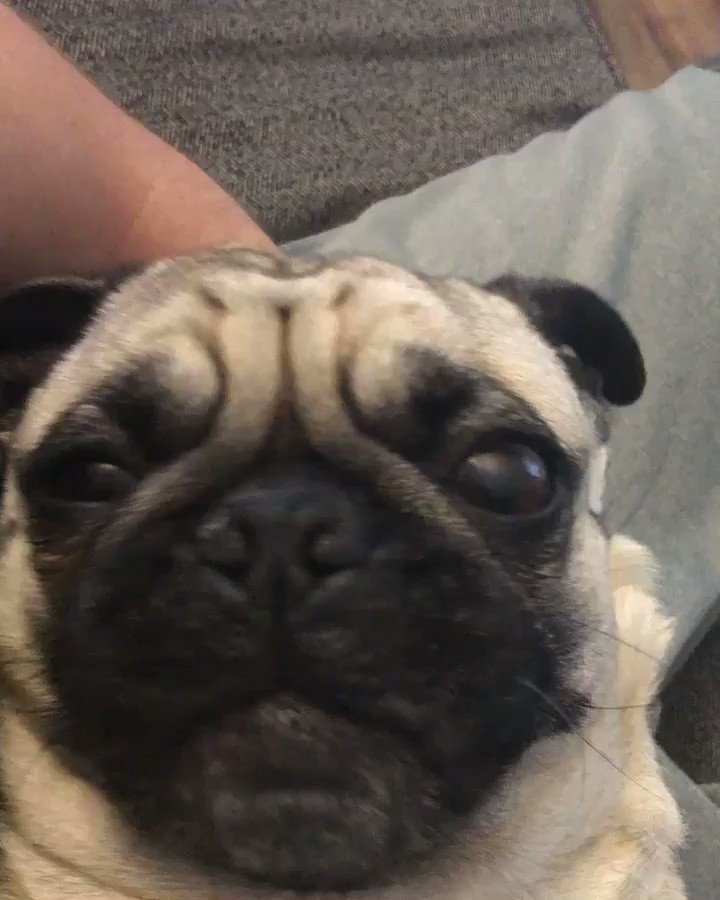 Shaq the pug on twitter fun fact 3 i like to be held like a baby altavistaventures Images
