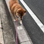 こんなお散歩があこがれwとぼとぼ歩いたり、すたすた歩いたりする柴犬が可愛すぎw