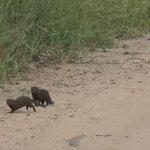 何度も死んだふりをして鳥を捕まえようとしているマングース!可愛い♡