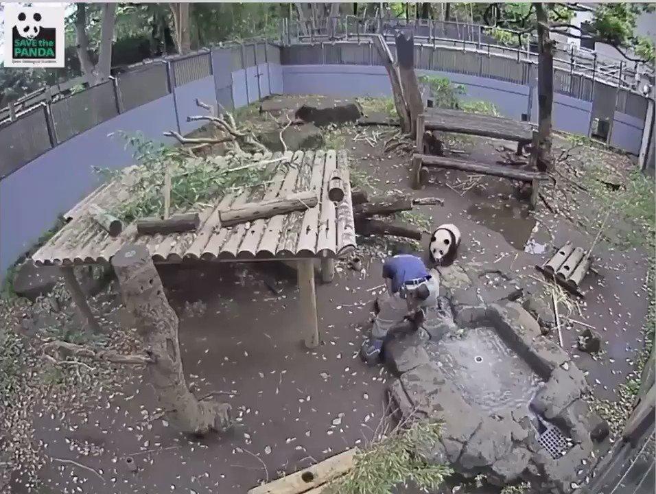 パンダライブカメラより。 飼育員さんのご飯補充のお邪魔をするシャンシャン。(倍速) 6分近く追いかけっこしてました! #シャンシャン#香香#パンダ