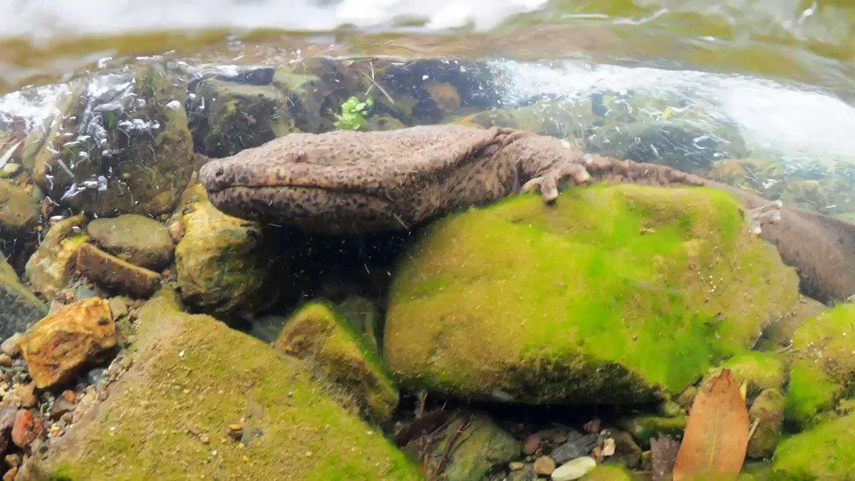 オオサンショウウオの息継ぎ動画が撮れました。鼻を使って上手に空気を吸い込み、水中に戻るときに口から少しだけ泡が漏れます。爪の無い4本指でしっかり岩をつかみ、下流に移動する時は流れに身をまかせます。3000万年前から現代までずっと変わらない姿が日本の川にあります。美しい。