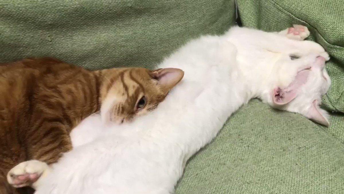 ボクシング見てたら猫の顔が猫の腹に吸い込まれた  何を言っているのかわからねーと思うがおれもちょっと何を言ってるかわからない