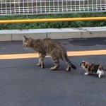 カルガモ親子じゃなくて、猫の親子の大移動?列が可愛くてずっと見てられるw