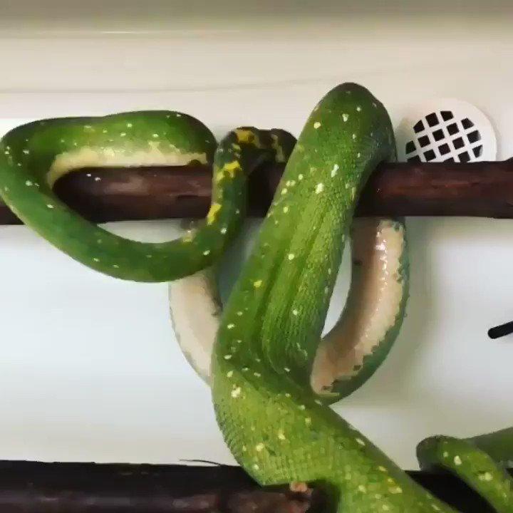 ヘビも寝るときの折りたたみ方があるんだ。