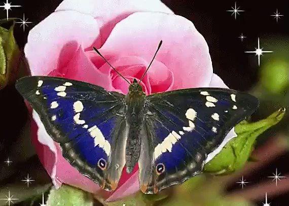 Гифки бабочки на цветах, три толстяка для