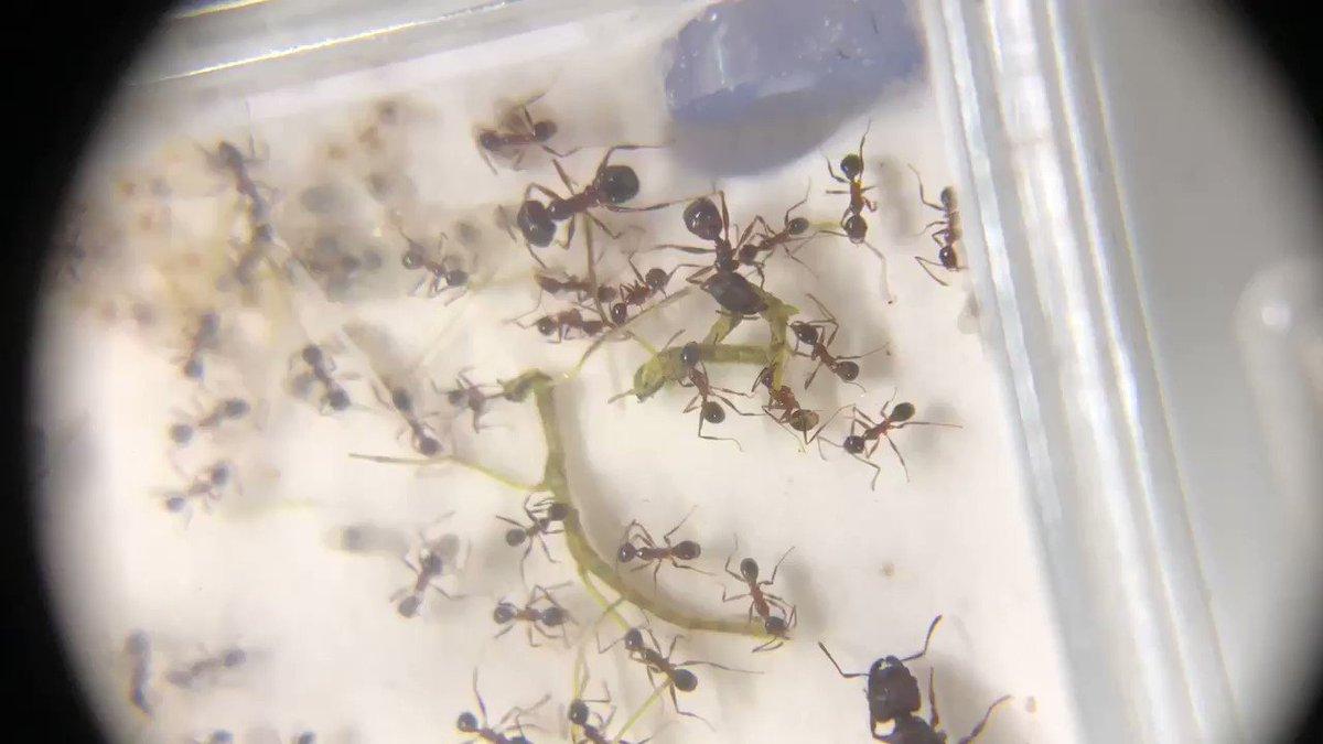 エサとして与えたナナフシの赤ちゃんを解体するオオズアリさんたち。 オオズアリはエサを巣の中まで引き込んでから料理するのが好きらしい。
