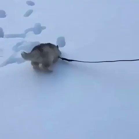 ハスキーの仔犬の雪遊び