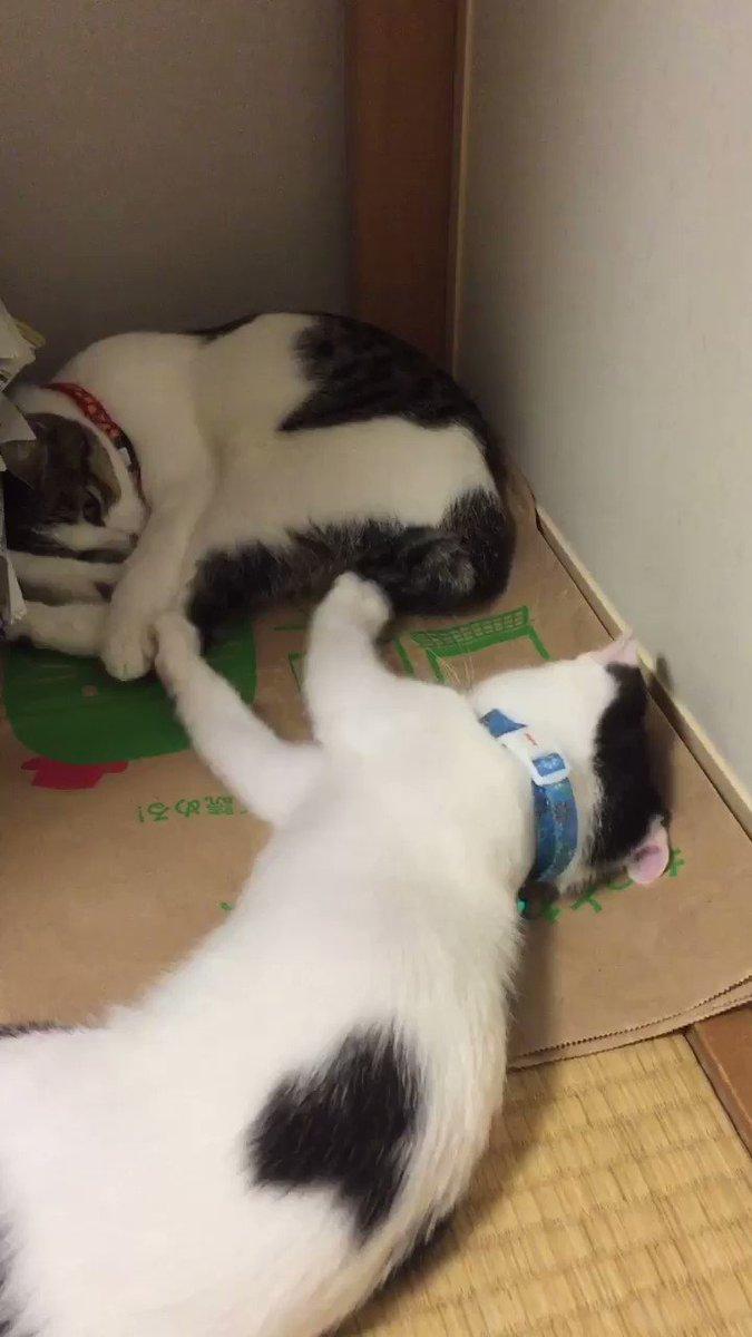 【転がる猫秘蔵動画】② 小さい頃、同居猫(3ヶ月歳上)に遊んでもらう転がる猫です。