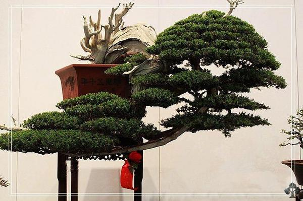 Bonsai Empire On Twitter Bonsai Tree In Cascade Style By Ndoro Meina Bysccall See Http T Co Cfpm6lo8 Http T Co Rjipi5e8