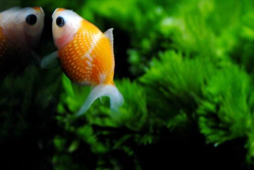 ※金魚すくいでGETした金魚を長生きさせるコツ。①金魚を持ち帰った当日と翌日の2日間は餌を与えない。②1Lの飼育水に対して3gの粗塩を入れる。③最低でもブクブクは用意してあげる。 ④餌の量は金魚の片目の大きさが目安。 ⑤沈む餌を与える http://t.co/stvTN6Fx