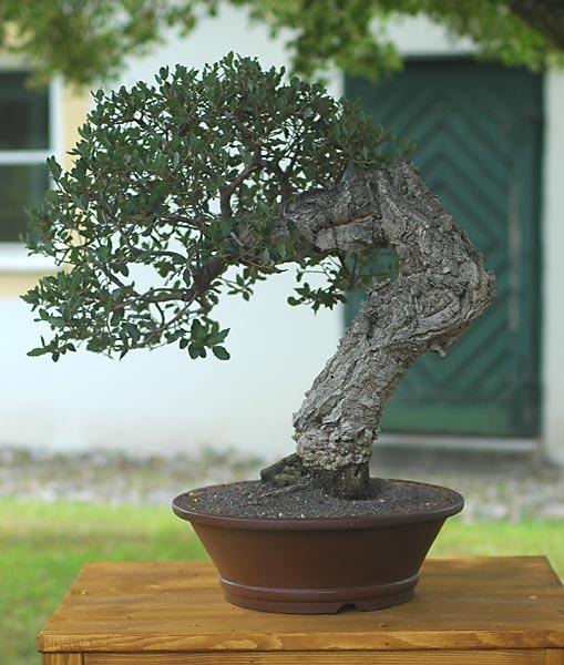 Imperial Bonsai On Twitter Tree Of The Day Quercus Suber Cork Bark Oak By Walter Pall Bonsai Http T Co Ghgm88ep