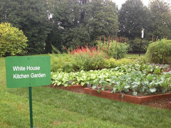 Kitchen garden! #WHGarden @whitehouse currently harvesting bok choy, @mattmarcello's favorite. http://pic.twitter.com/5xPwbY5W