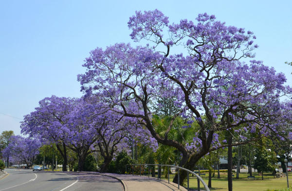 22. In Your Town - It's jacaranda season, I love it because the town turns purple! #FMSphotoaday http://t.co/l9PY9xTC