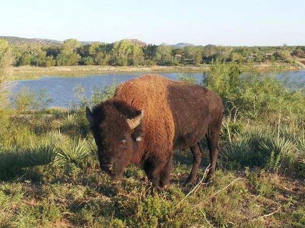 Bison Are Ready For Thanksgiving >> Quitaque Hashtag On Twitter