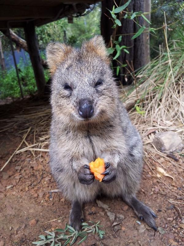 Quokka : happiest looking animals ever! | Green Vision
