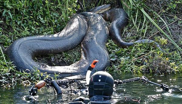 Kuliner pati on twitter ular terbesar di dunia anaconda di sungai kuliner pati on twitter ular terbesar di dunia anaconda di sungai amazon brazil berhasil diabadikan ngerii cah httptkn9qfksd reheart Images