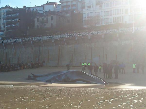 Ballena varada en la playa de la Concha, San Sebastián. Fotografiando Twitter desde Meteosal.com