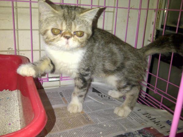 Y I E Pet Shop On Twitter Pasartengah Jual Kucing Exotic Shorthair Umur 5bln Betina Warna Black Tabby N White Http T Co Lmaovt9k