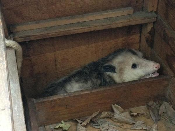 Smiling Possum Twitter / mattashburn: aww now it's smiling! #possum .