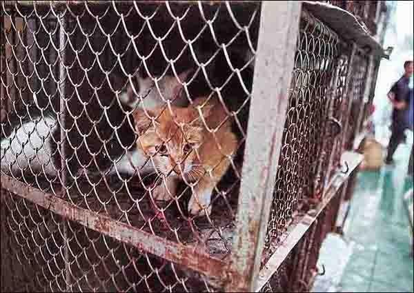 毛皮をはがされるのを待つ猫  年間200万匹の犬猫が、主に中国、そしてタイなどの東南アジアで毛皮のために殺されている。  http://t.co/FslMIdK6GS #twitr