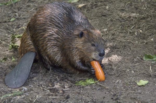 Sias Du Plessis On Twitter Look At This Hairy Beaver T Co Bypjln5y