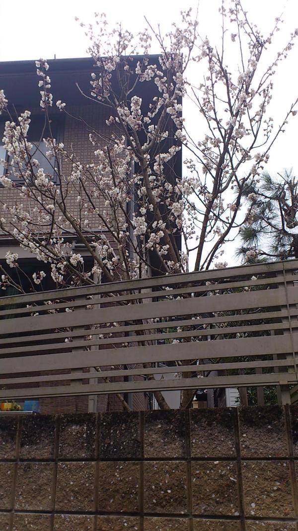 散歩ぃったら、さぃてたぁ☆春ょこーぃ。。 まだ2、さむぃょぉ。。pic.twitter.com/7GeETn82
