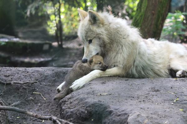wolfje on quot rt tijdschrifttina lieeeef in artis