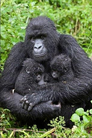 Ebola has wiped out a THIRD of chimps and gorillas http://t.co/lIiNFvvSNp RT @ESStewart http://t.co/6oq3pCY8RO