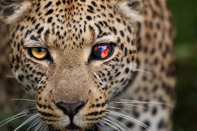 RT @OutOfWild: A leopard with a damaged eye in Botswana | Photo by Wayne Wetherbee http://t.co/KCHBT