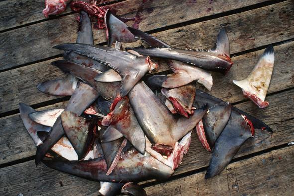 Dear @TRANSluxuryHTL how many sharks should u kill for your Ciaciu Imlek Dinner? #savesharks http://t.co/WcpMf5Sgb5