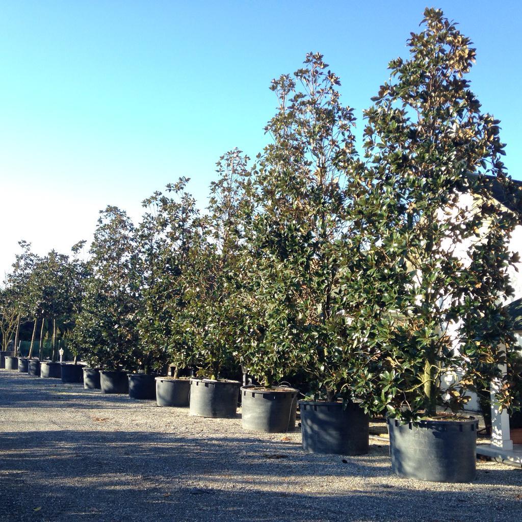 Magnolia grandiflora gallisoniensis http://t.co/AkQCMoZpPn