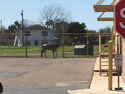 Breaking: An animal — believed to be an antelope — escaped from the Brownsville zoo http://t.co/6eNixJuzfZ #rgv http://t.co/TQqNUQIRNa